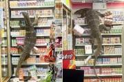 """""""배고파요"""" 편의점 습격한 왕도마뱀"""